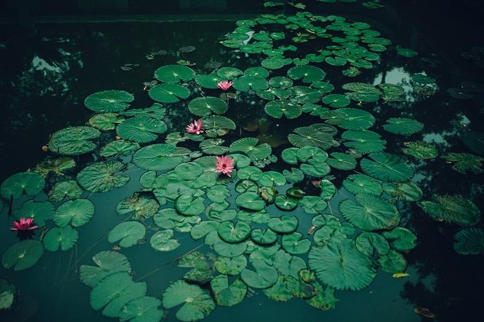 lotus5 - FLOR DE LÓTUS: 8 Curiosidades Desta Planta Aquática Muito Especial
