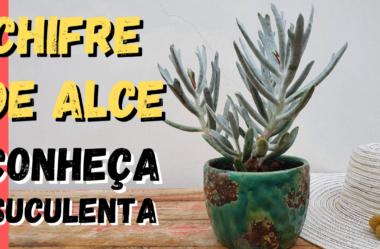 Novo Vídeo: Conheça a Suculenta CHIFRE DE ALCE! E Saiba Como Cuidar