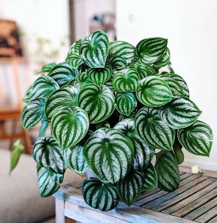 Peperomia Melancia - PEPERÔMIAS: GUIA COMPLETO nº 1 sobre essas Plantas