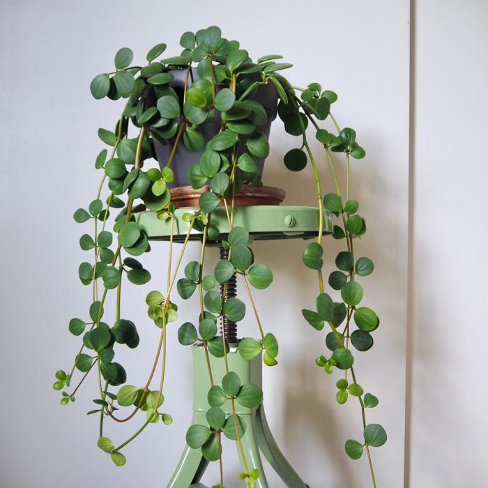 peperomia hope - PEPERÔMIAS: GUIA COMPLETO nº 1 sobre essas Plantas
