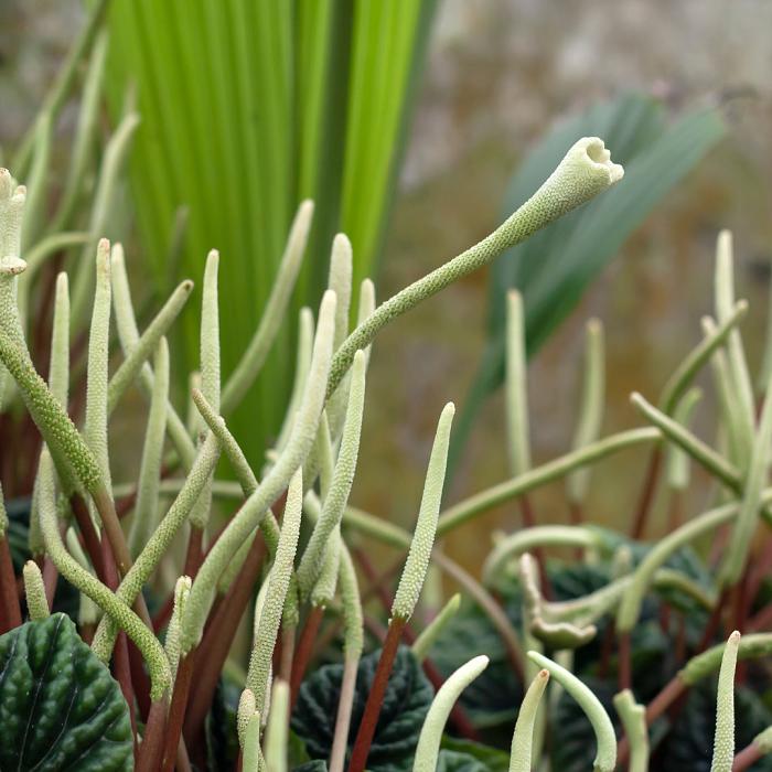 peperomias 11 - PEPERÔMIAS: GUIA COMPLETO nº 1 sobre essas Plantas