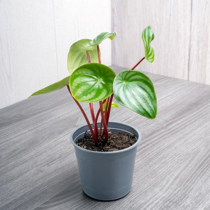 peperomias 17 - PEPERÔMIAS: GUIA COMPLETO nº 1 sobre essas Plantas