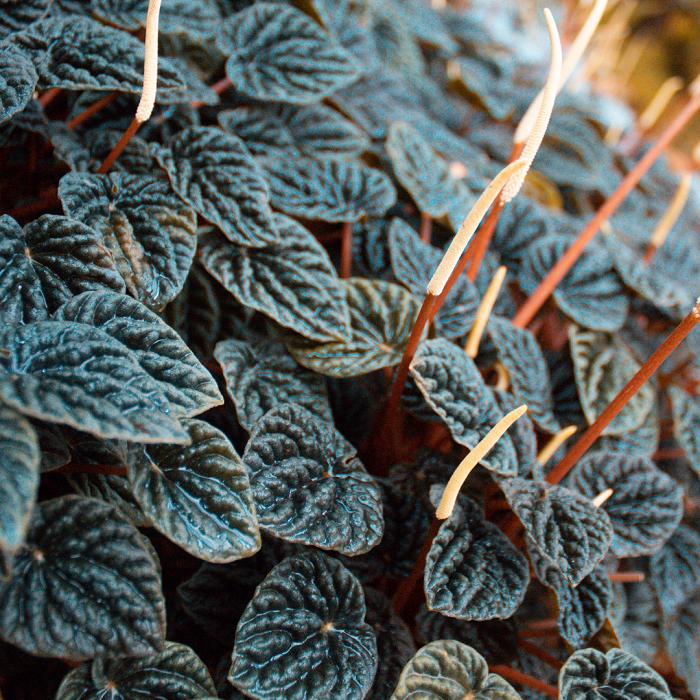 peperomias 4 - PEPERÔMIAS: GUIA COMPLETO nº 1 sobre essas Plantas