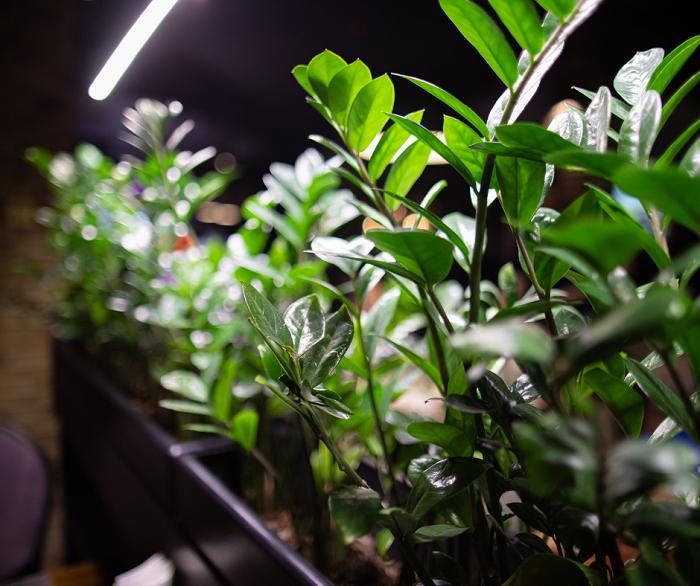 1 Guia Completo sobre a planta ZAMIOCULCA - ZAMIOCULCA: Guia Completo com 10 Passos sobre a Planta