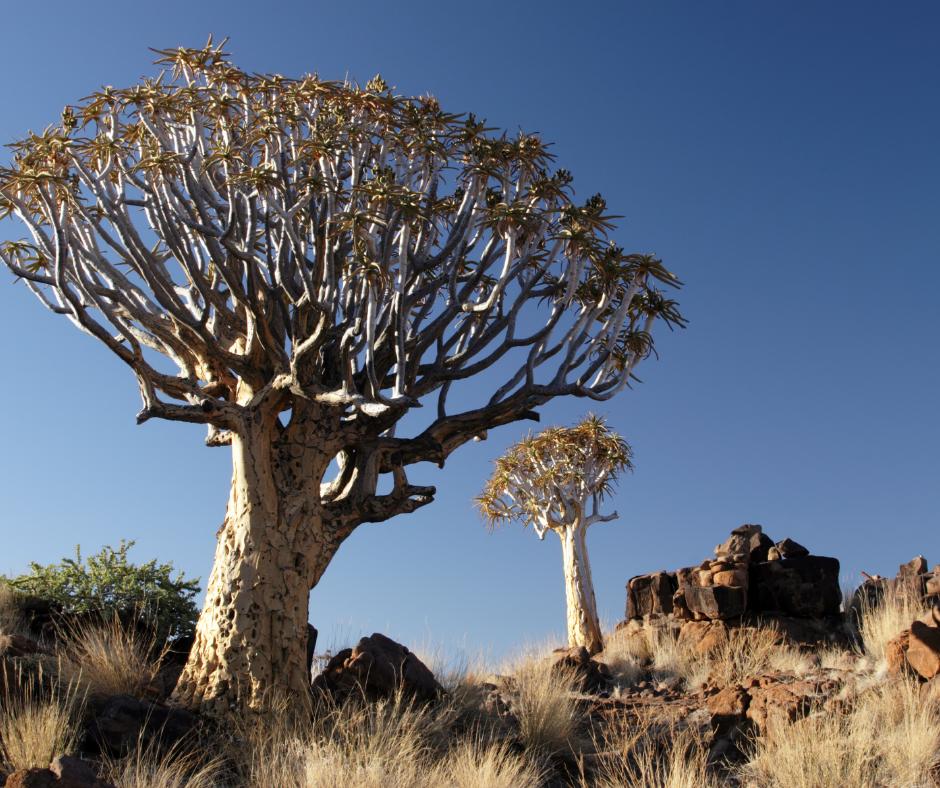 Arvore Quiver - Conheça as 12 PLANTAS RARAS do Mundo