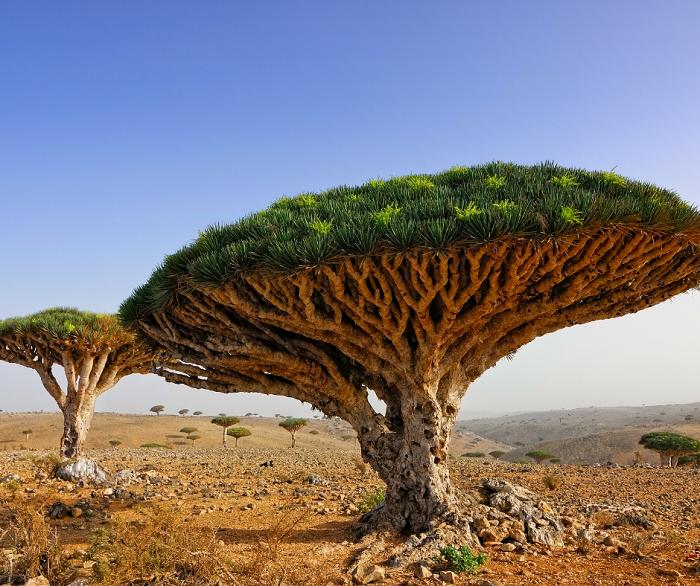 Arvore Sangue de dragao - Conheça as 12 PLANTAS RARAS do Mundo
