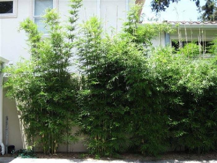 Bambuzinho de jardim – Bambusa textilis gracilis - 12 IDEIAS De Projeto de Jardim para uma ÁREA DE PISCINA