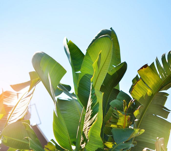 Bananeira - 12 IDEIAS De Projeto de Jardim para uma ÁREA DE PISCINA