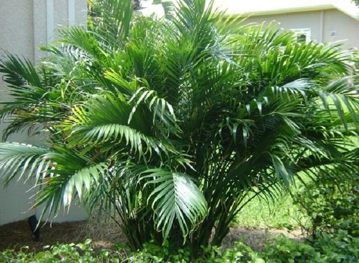 Chamaedorea cataractarum - 12 IDEIAS De Projeto de Jardim para uma ÁREA DE PISCINA