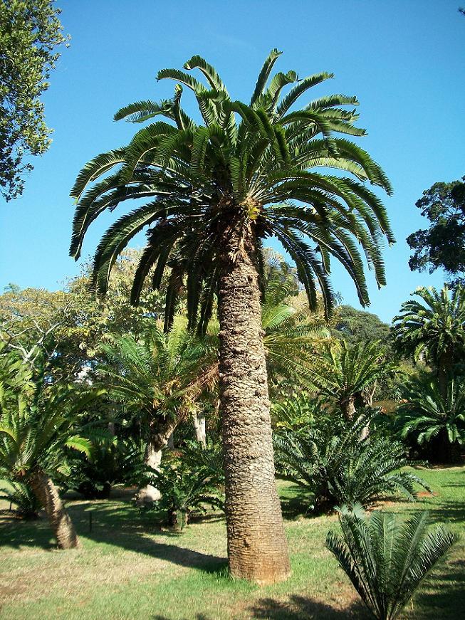 Encephalartos woodii - Conheça as 12 PLANTAS RARAS do Mundo