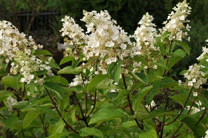 Hortensia arbustiva - 12 IDEIAS De Projeto de Jardim para uma ÁREA DE PISCINA