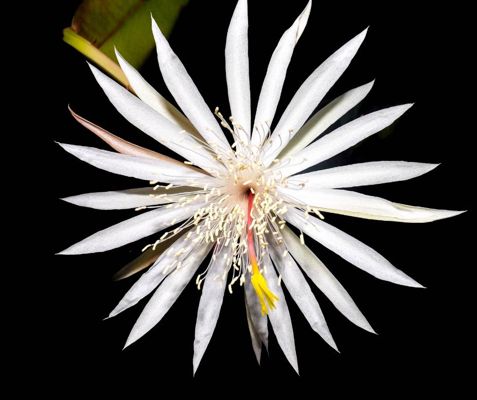 Kadupul - Conheça as 12 PLANTAS RARAS do Mundo
