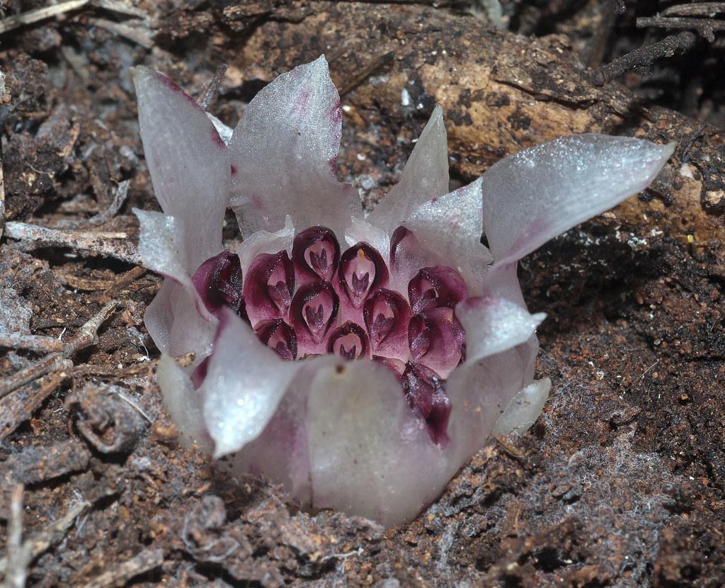 Orquidea subterranea - Conheça as 12 PLANTAS RARAS do Mundo