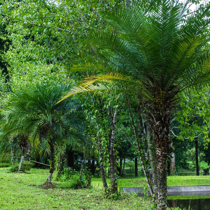 Palmeira Fenix - 12 IDEIAS De Projeto de Jardim para uma ÁREA DE PISCINA