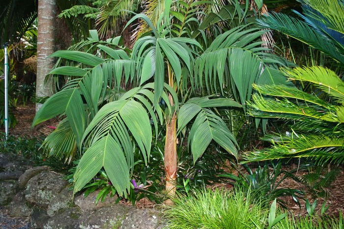 Palmeira Guaricanga de Bengala Geonoma Elegans - 12 IDEIAS De Projeto de Jardim para uma ÁREA DE PISCINA
