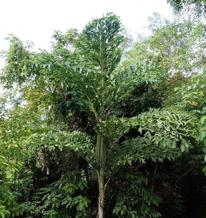Palmeira rabo de peixe Caryota mitis - 12 IDEIAS De Projeto de Jardim para uma ÁREA DE PISCINA