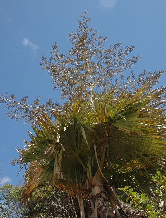 Palmeira tahina - Conheça as 12 PLANTAS RARAS do Mundo