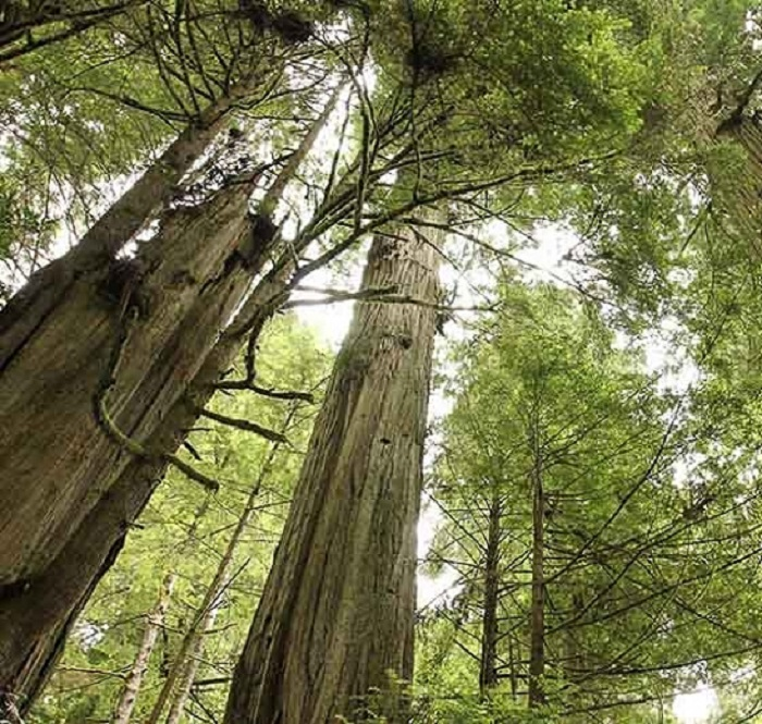 Sequoia sempervirens - Descubra 17 Fatos Surpreendentes sobre Jardins