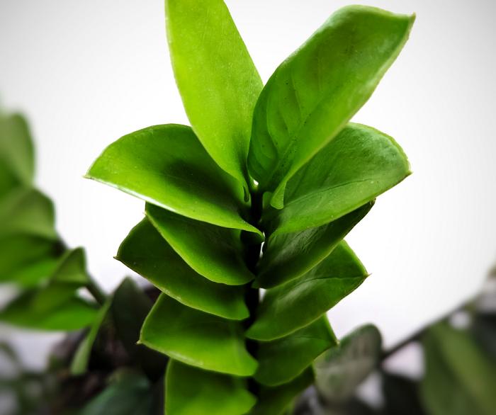 Zamioculca18 - ZAMIOCULCA: Guia Completo com 10 Passos sobre a Planta