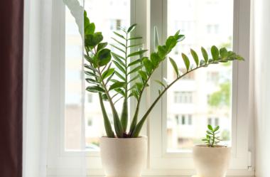 ZAMIOCULCA: Guia Completo com 10 Passos sobre a Planta