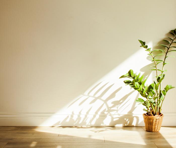 Zamioculca3 - ZAMIOCULCA: Guia Completo com 10 Passos sobre a Planta