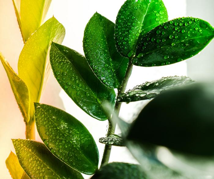 Zamioculca4 - ZAMIOCULCA: Guia Completo com 10 Passos sobre a Planta