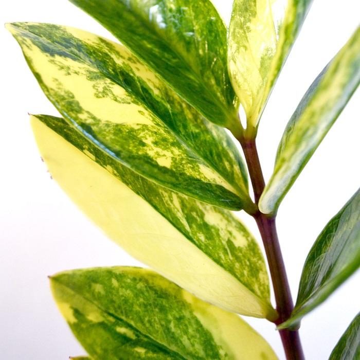 Zamioculcas variegada - ZAMIOCULCA: Guia Completo com 10 Passos sobre a Planta