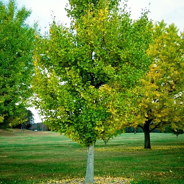 ginkgo biloba - Descubra 17 Fatos Surpreendentes sobre Jardins