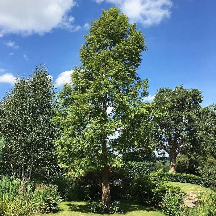 metasequoia glyptostroboides - Descubra 17 Fatos Surpreendentes sobre Jardins