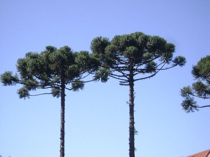 Araucaria angustifolia - 8 Motivos para Fazer PODAS DE PLANTAS