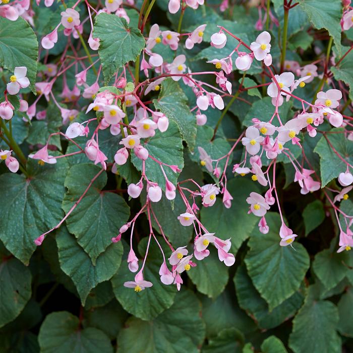 Begonia grandis - Begônias -10 Passos para Cuidar com Excelência