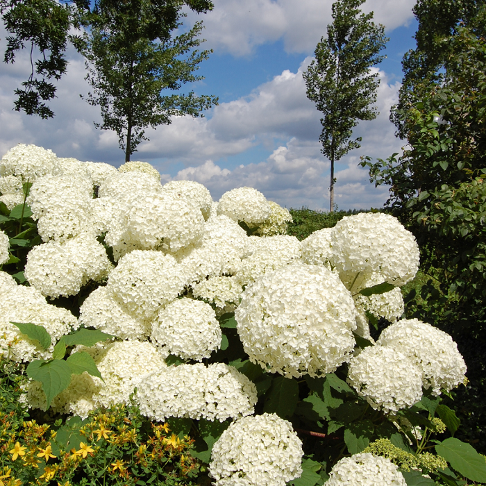 Hortensia arborescens - 8 Motivos para Fazer PODAS DE PLANTAS