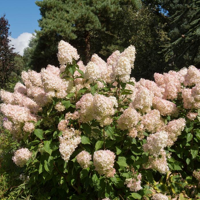 Hortensia paniculata - 8 Motivos para Fazer PODAS DE PLANTAS