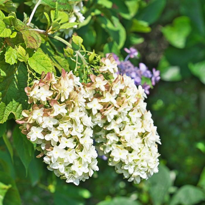 Hortensia quercifolia - 8 Motivos para Fazer PODAS DE PLANTAS
