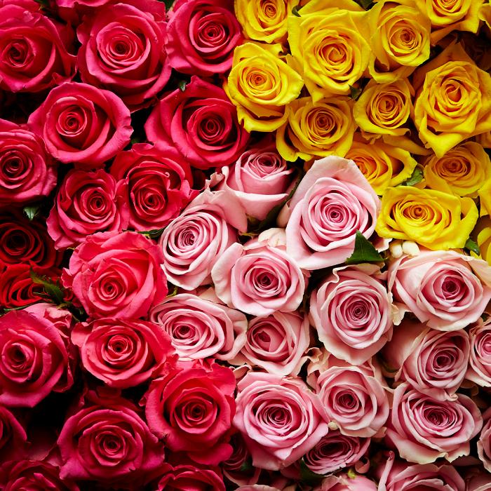 ROSA - AS 10  FLORES MAIS PERFUMADAS | CONFIRA NOSSA LISTA