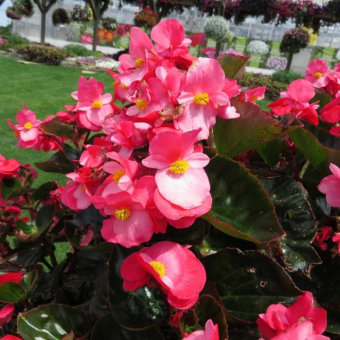 begonia surefire 1 - Begônias -10 Passos para Cuidar com Excelência