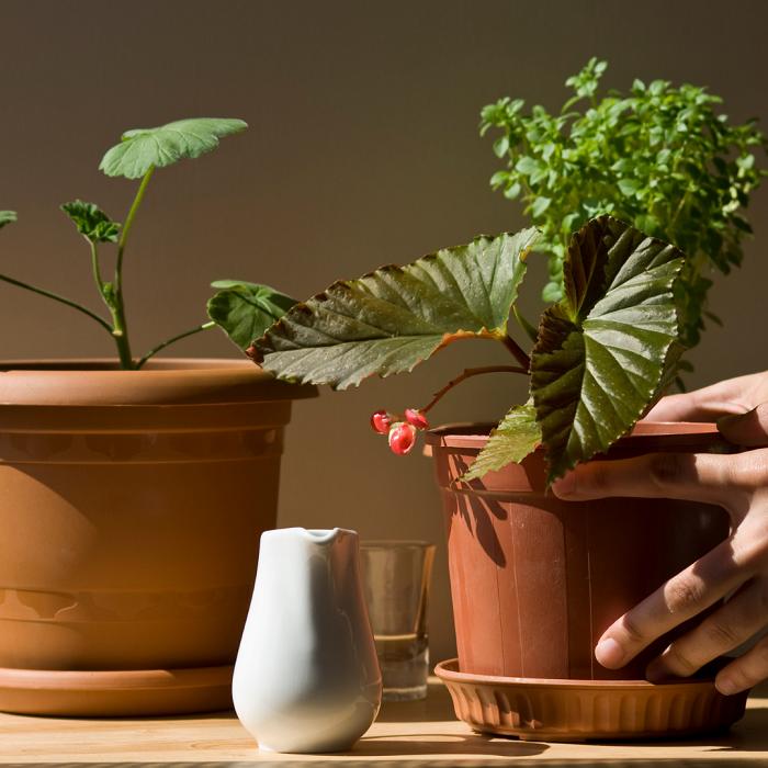 begonias 2 - Begônias -10 Passos para Cuidar com Excelência