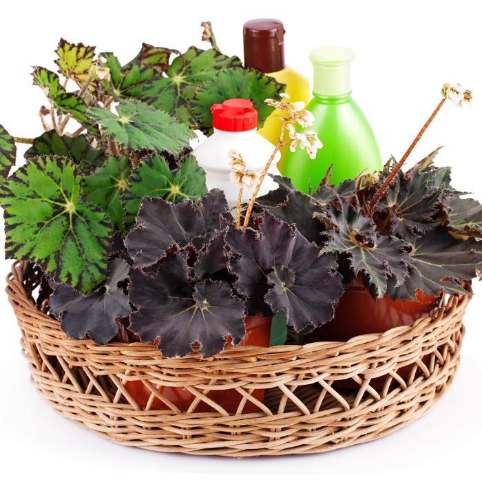 begonias 5 1 - Begônias -10 Passos para Cuidar com Excelência