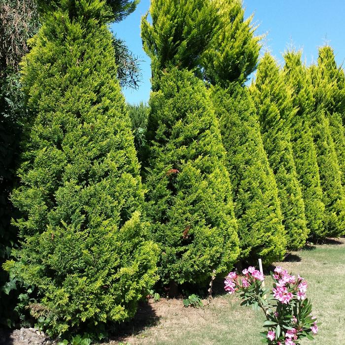 coniferas - 8 Motivos para Fazer PODAS DE PLANTAS