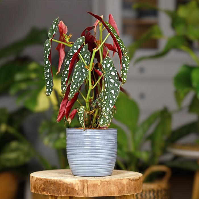maculata - Begônias -10 Passos para Cuidar com Excelência