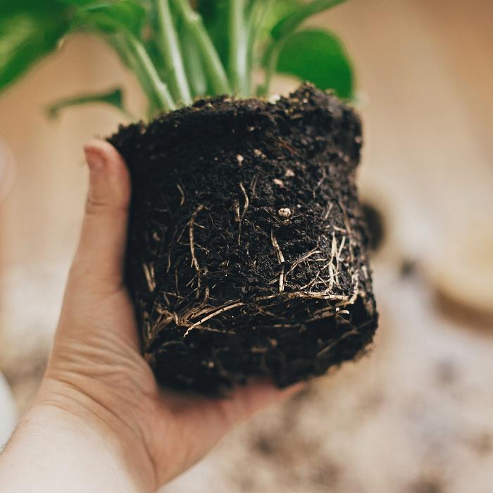 7 Sinais Para Trocar A Planta De Vaso 4 - 7 Sinais Para Trocar A Planta De Vaso