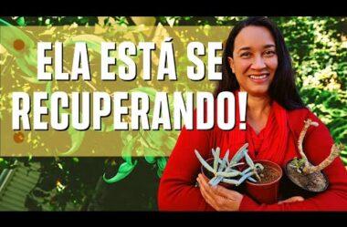 ELA ESTÁ SE RECUPERANDO! Veja a Recuperação da Suculenta CHIFRE DE ALCE