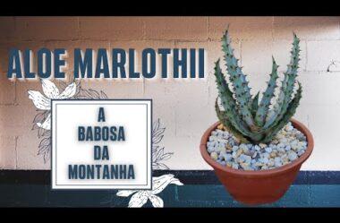 Saiba Tudo Sobre a Aloe Marlothii Babosa Da Montanha