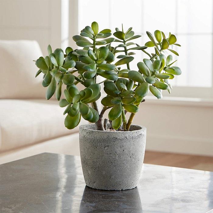 planta jade 1 - 12 TIPOS DE SUCULENTAS Exóticas e Diferentes que Você Vai Amar!