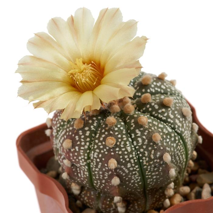 Astrophytum asterias - 11 CACTOS PARA INICIANTES - Fáceis De Cuidar!