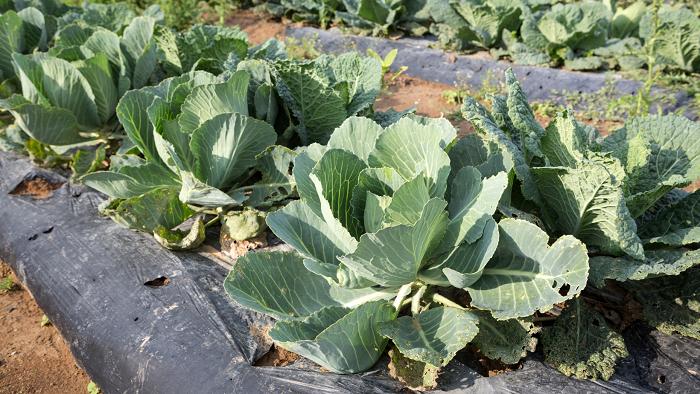 Mulching Conheca 6 Palhinhas Vegetais5 - MULCHING: Conheça 6 Palhinhas Vegetais